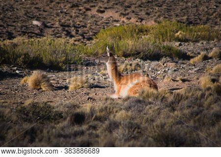 Old Guanaco (lama Guanicoe) Resting In The Steppe Of Villavicencio Natural Reserve, In Mendoza, Arge