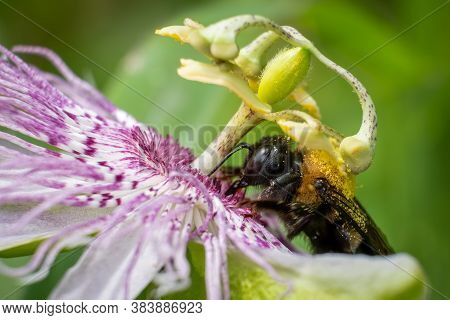 An Eastern Carpenter Bee Works Hard To Pollinate A Purple Passionflower.