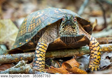 A Male Eastern Box Turtle Climbing Over A Stick In The Forest. Raleigh, North Carolina.