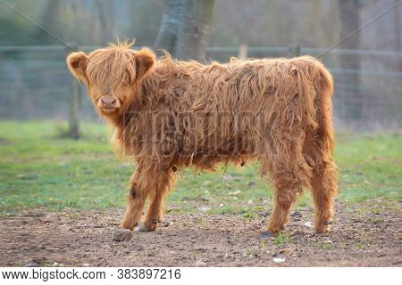 Full View Of A Cute Young Scottish Highland Cattle Calf With Light Brown Long And Scraggy Fur