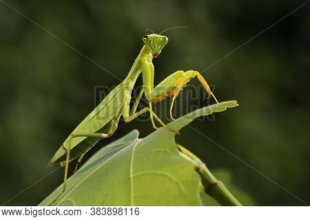 Mantis From Family Sphondromantis (probably Spondromantis Viridis) Lurking On The Green Leaf.sphodro