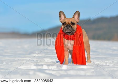 Small Fawn French Bulldog Dog With A Red Winter Scarf Around Neck Standing In Snow Landscape In Wint