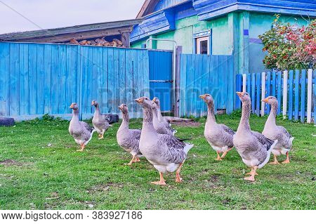 Rural Scene. White And Motley Geese Walk Near The Village House In Countryside Of Siberia, Russia