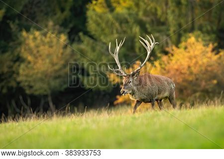 Majestic Red Deer Stag Walking On Meadow In Autumn Nature At Sunset.