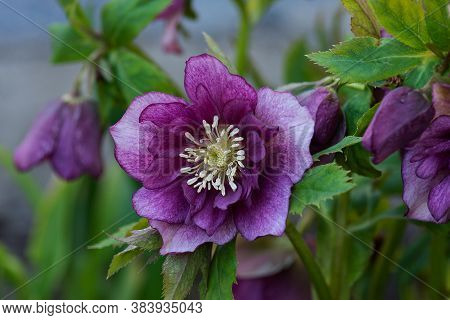 Hellebore Flower Double Hybrids Red Promise