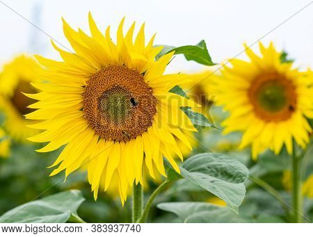 Two Sunflowers In A Row With Working Bees