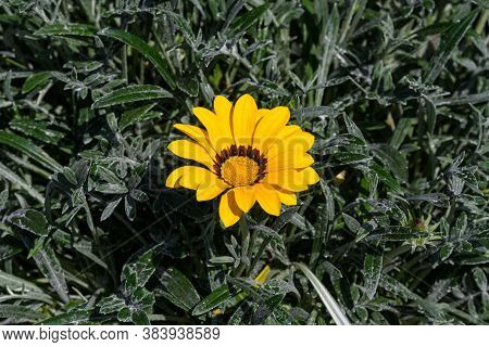 One Yellow Gazania Flower And Green Leaves In Soft Focus, In A Garden In A Sunny Summer Day