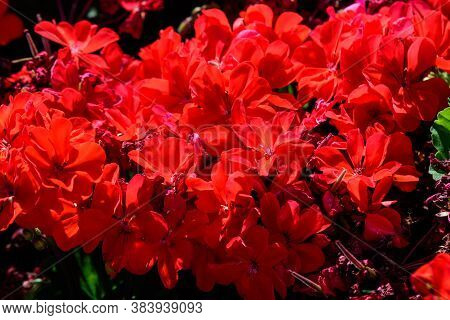 Background With Fresh Red Cranesbills Flowers Commonly Known As Cranesbills, In A Sunny Summer Garde