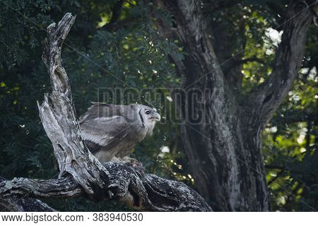 Verreaux Eagle-owl Standing On Dead Tree In Kruger National Park, South Africa ; Specie Bubo Lacteus