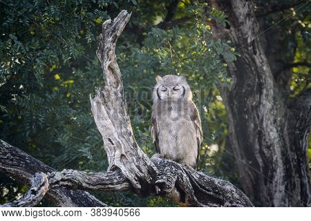 Verreaux Eagle-owl Standing In Log At Dawn In Kruger National Park, South Africa ; Specie Bubo Lacte
