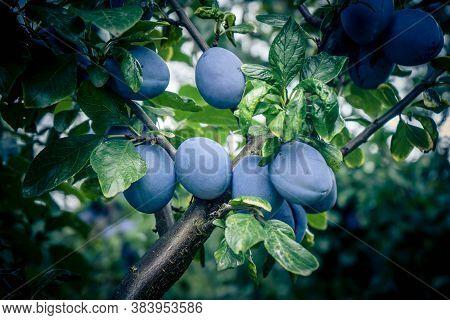 Plum Prunus Domestica Trees Next To Hamburg