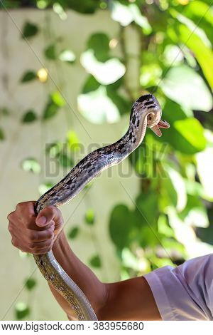 Close Up Rat Snake On Hand Asia Man In Garden At Thailand