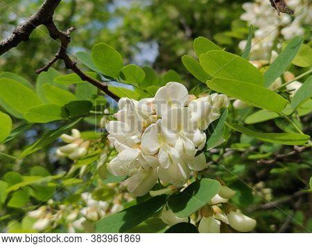 White Acacia Blossoms Of Acacia Tree, Close-up