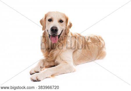 Golden retriever dog lying, isolated on a white background