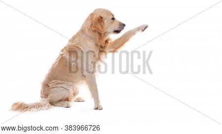 Golden retriever dog giving paw sideways isolated on white background