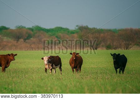 Cow In The Field. Cows On A Summer Pasture. Graze On A Green Farm Field In Spring