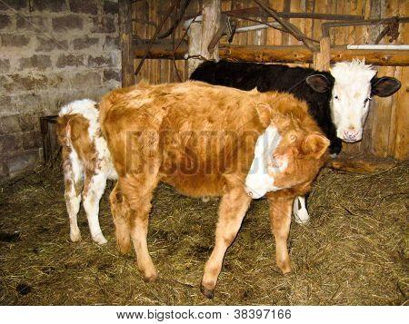some calfs living on a farm