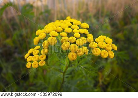 Closeup Of Yellow Tansy Flowers Tanacetum Vulgare, Common Tansy, Bitter Button, Cow Bitter, Or Golde