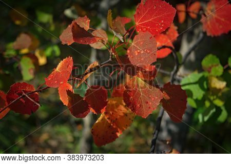 Bright Colorful Autumnal Leafs Of Aspen Branch. An Aspen Branch With Bright Red Autumn Leaves Close-