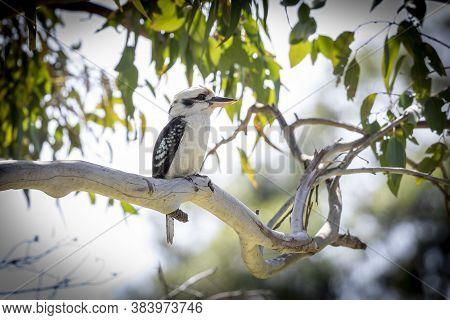 A Kookaburra Bird Sitting On A Branch In A Tree In The Sunshine In Regional Australia