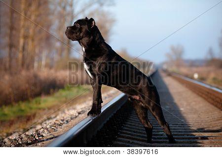 cane corso dog portrait outdoors