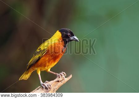 Black-headed Weaver (ploceus Cucullatus) Sitting On The Branch. Yellow Weaver With Black Head And Gr