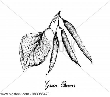 Vegetable, Illustration Of Hand Drawn Sketch Fresh Green Beans Or Phaseolus Vulgaris Isolated On Whi