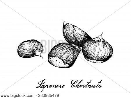 Illustration Hand Drawn Sketch Of Japanese Chestnuts, Korean Chestnut Or Castanea Crenata Fruits On