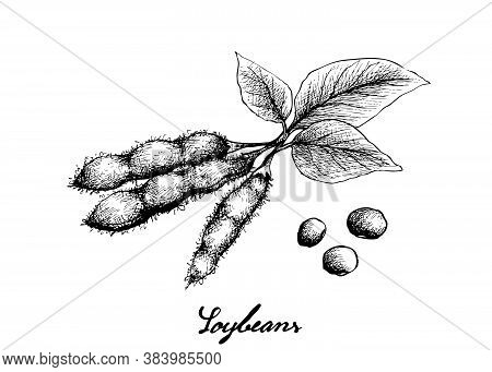Vegetable And Fruit, Illustration Of Hand Drawn Sketch Fresh Green Soybean Or Edamame Pods Isolated