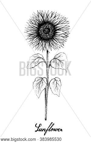 Illustration Of Hand Drawn Sketch Bright And Beautiful Sunflowers In Tight Bundle Isolated On A Whit