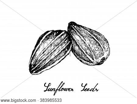 Illustration Of Hand Drawn Sketch Sunflower Seeds Isolated On A White Background.