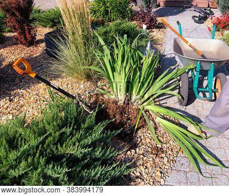 Dividing Iris Plant For Replant. Garden Shovel, Wheel Barrow, Young Juniperus And  Shrubs. Gardening