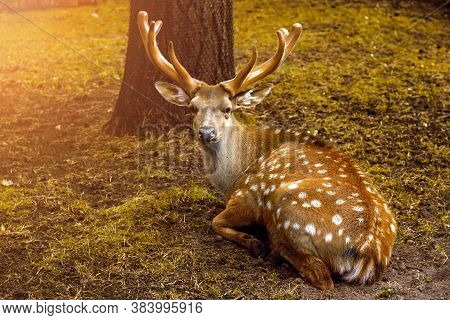 Beautiful Deer With Large Antlers In The Autumn Forest