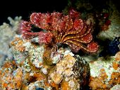 Pictures of the underwater world of Red sea: sea lily poster