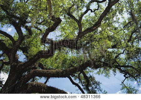 Quercus virginiana - Southern Live Oak Tree