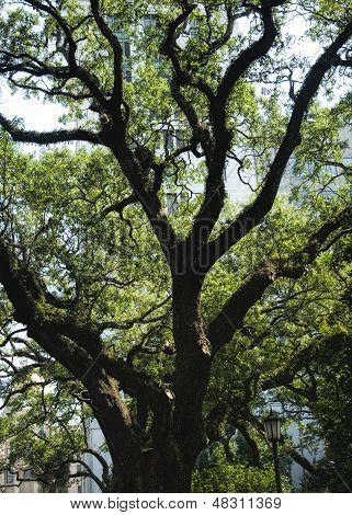 Southern Live Oak Tree  Quercus virginiana