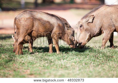 Mud Covered Warthogs Feeding On Grass