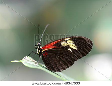 Doris Longwing Butterfly Resting On A Leaf