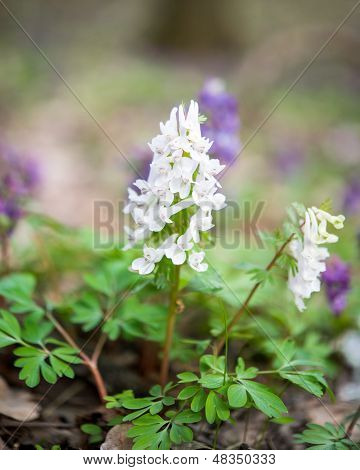 Flower Of Hollowroot In The Spring