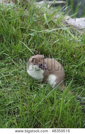 A Close Up Image Of A Stoat Looking To The Right