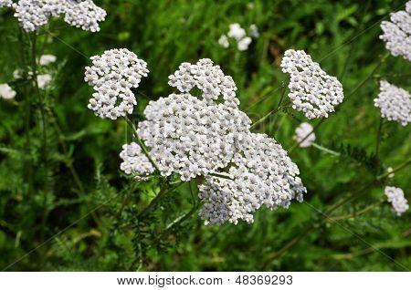 milfoil  plant herb  (Achillea Millefolium)