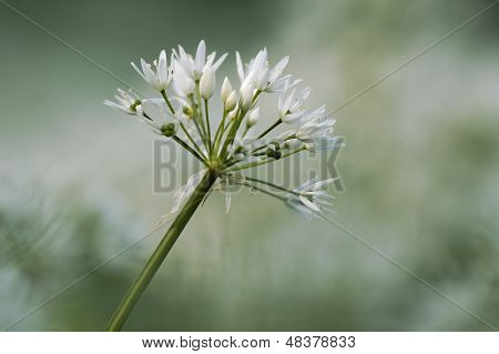 Ramsons flower
