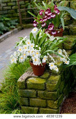 Pansy orchids or Miltonia hybrid orchids in an outdoor setting.
