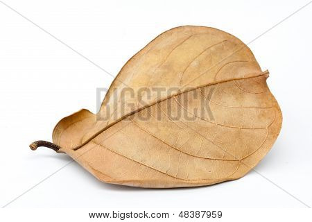 brown leaf with long tale isolated on white