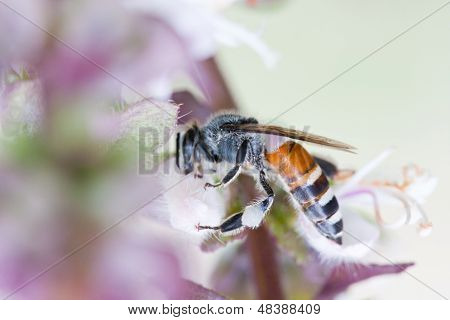 animal of honey bee collects Basil flower nectar