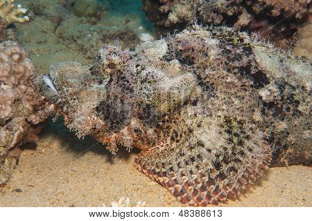 Bearded Scorpionfish On The Seabed