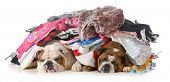 spring cleaning - two english bulldogs laying under a pile of clothes isolated on white background poster