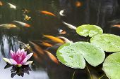 Lily Pad Leaf and Pink Flower Floating in Koi Fish Pond poster