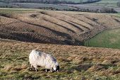 Sheep grazing on Whitehorse Hill near Uffington Oxfordshire England poster