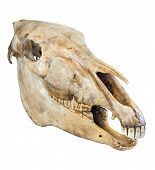 Skull of a horse on a white background poster